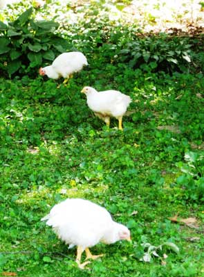Pasture Raised Organic Poultry and chickens