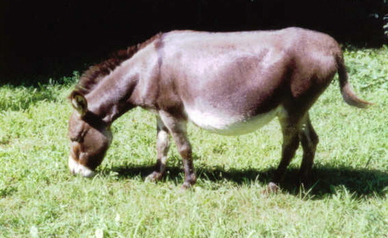 Herd Guardians Oak Hollow Acres Darby Mini Donkey