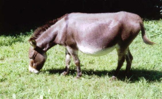 Herd Guardians Oak Hollow Acres Darby Mini Donkey