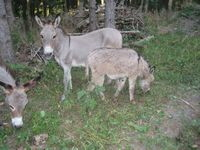Herd Guardians Oak Hollow Acres Frisca Jenny Mini Donkey