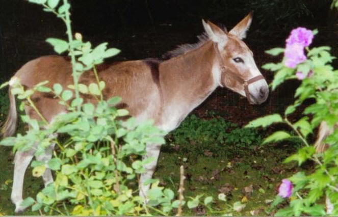 Herd Guardians Oak Hollow Acres Harrison (Jack) Mini Donkey