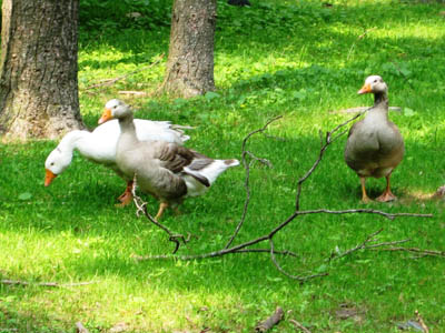Pasture Raised Organic Poultry and Geese